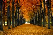 picture of maple tree  - Maple alley - JPG