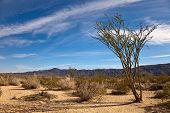 stock photo of ocotillo  - Desert landscape with ocotillo plant in Joshua Tree National Park California - JPG