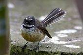 picture of fantail  - close up of a fantail bird in new zealand - JPG