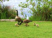 Mama Goose, Papa Goose And Goslings poster