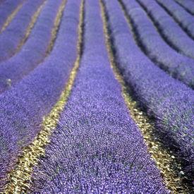 stock photo of lavender field  - lavender field - JPG