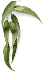 picture of eucalyptus leaves  - Gum tree leaves form a border against a white background - JPG
