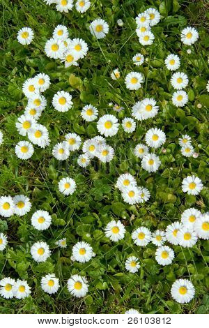 Background. Beautiful camomiles