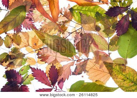 backround from fallen autumn leaves many colours