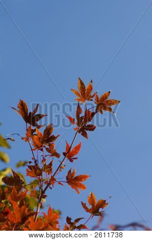 Red Maple Leaves In The Fall Against Blue Sky