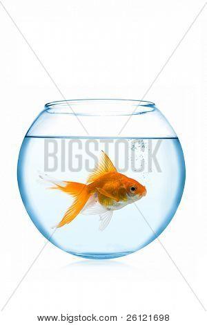 peixinho no aquário no fundo branco