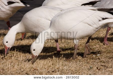 A Flock Of Snow Geese, Feeding At The Resting Place-Goose_013108_0022Er1