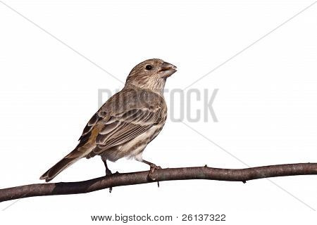 Finch Gnaws A Safflower Seed
