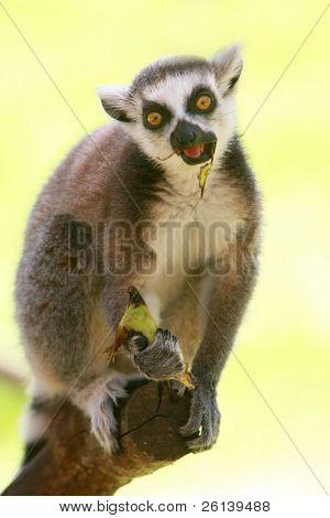 lemur monkey eating banana