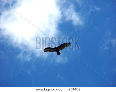 Turkey Vulture_9641 Copy