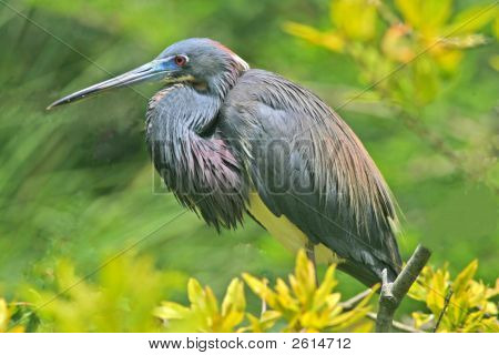 Louisiana Heroni
