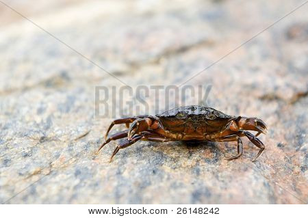 Small crab, raising its claws in defense