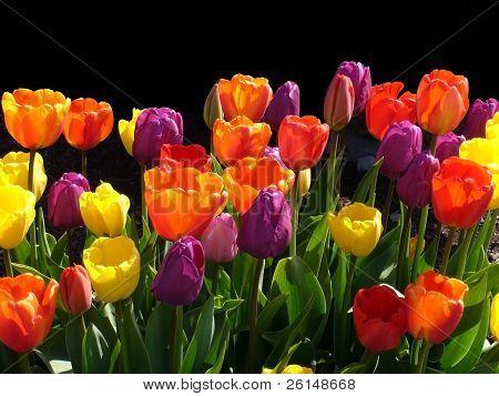 Tulip Festival,Skagit Valley Washington #6