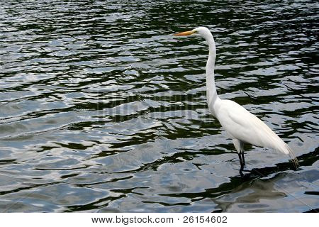 An Egret Hunting in the water