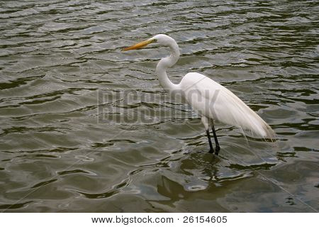 White Crane hunting in water