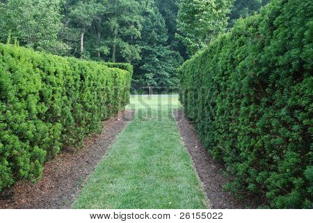 Path lined by hedges