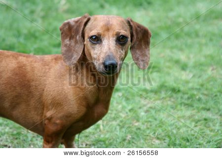 A Brown Dachshund
