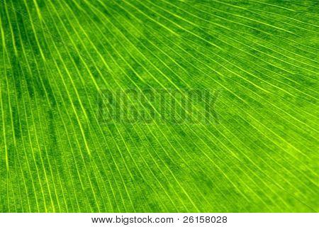 Ginkgo biloba leaf background