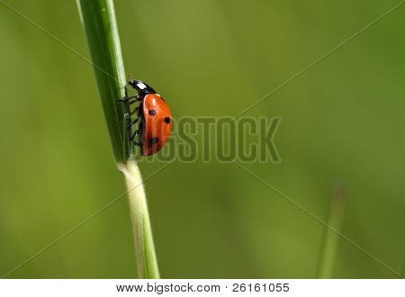 Perched Ladybug on a Blade of Grass