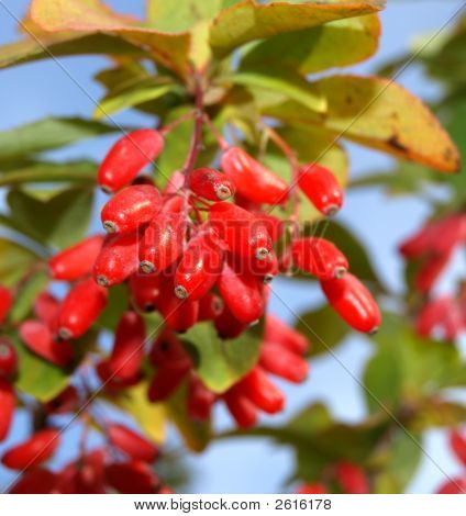 Barberry Berries