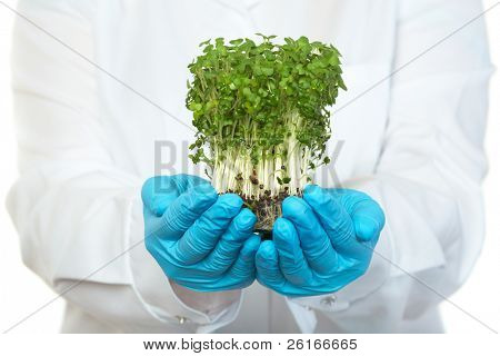 scientist holds small plant in blue rubber safety gloves, isolated on white