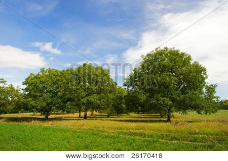 Wallnut trees in French landscape in the Perigord