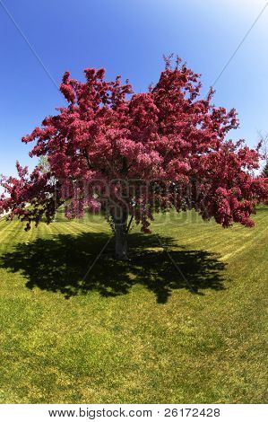 Crab apple or cherry tree in bloom in the spring