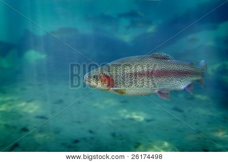 Single trout swimming in blue water in stream or lake