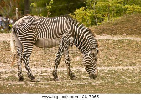 Afrikanische Zebra