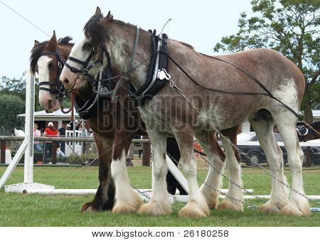 Two Clydesdales in Harness.
