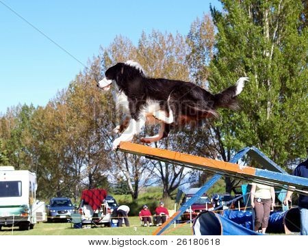Border Collie runs off the end of the see saw in an agility test