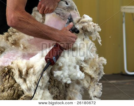 Shearing the neck of a sheep