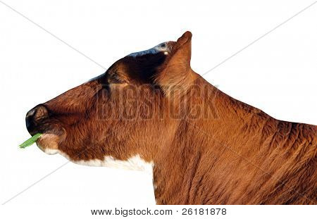 Ayrshire cow with grass, isolated with clipping path