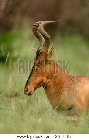 Red Hartebeest Portrait