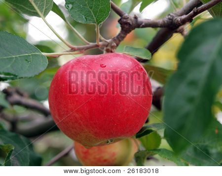 Ripe Red Apple hanging on the Tree