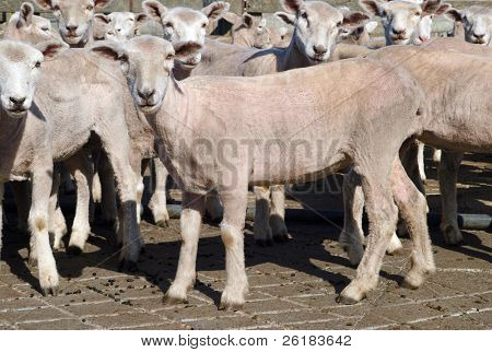 Newly shorn sheep in a pen of sheep