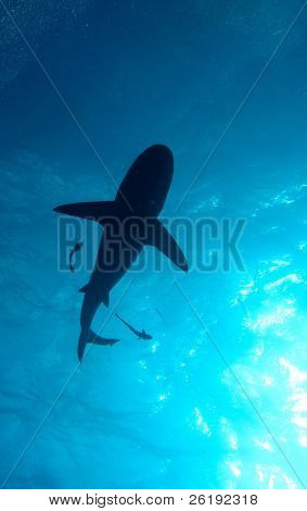 Shark silhouetted against blue water and sunlight; Great Barrier Reef, Australia