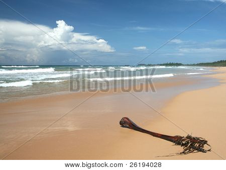 An old palm frond lying on a tropical beach, at Bentota, Sri Lanka.