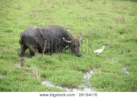 water buffalo (Bubalus bubalus) with a calf, while a cattle egret (Bulbulcus ibis) looking on. Seen in a field in Sri Lanka