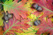 Fallen Acorns On Oak Leaves. Acorns In Oak Forest. Close Up. poster