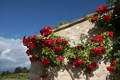 stock photo of climbing rose  - Climbing roses on an old house in the village of Villars in Provence - JPG