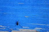 Small Insect Bug On Old Blue Wooden Background. Wooden Weathered Aged Surface With Peeling Blue Pain poster