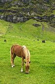 The Icelandic horse has been bred for centuries without the addition of outside bloodstock. They are