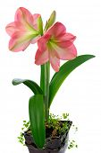 stock photo of belladonna  - blooming pink amaryllis in ceramic pot isolated on white background - JPG