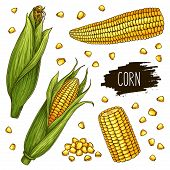 Hand Drawn Corn Set. Isolated Ripe Corn Cobs And Grain With Label. Vegetarian Food Design For Shop,  poster
