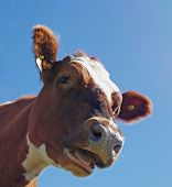 Head Shot of an Ayrshire Cow