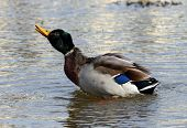 A Male Mallard Drake Stretching Out And Shaking His Head poster