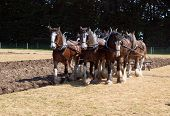 stock photo of horse plowing  - Six Horse Clydesdale Team Ploughing in a Sprayed Field - JPG