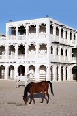 Purebred Arabian horses in a paddock opposite the Emiri Diwan palace in central Doha. The ornate sta poster