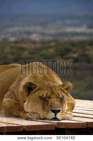 Vertical Of Sleeping Lioness With Fly On Nose Laying On Wooden Plank